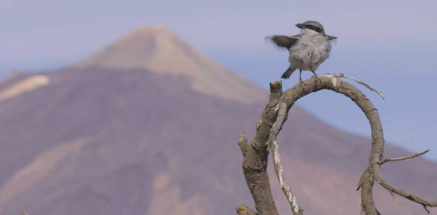 Aves de Canarias